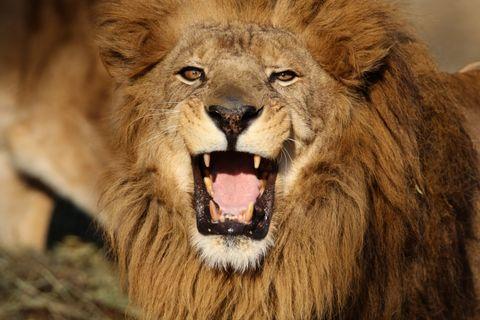 吠えるライオンは男の本能